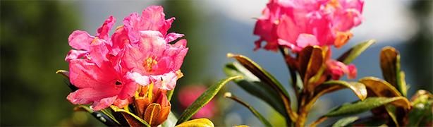 phytocelltec-alp-rose