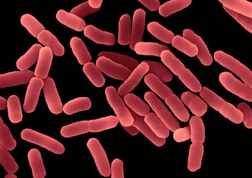 Bacillus Extract