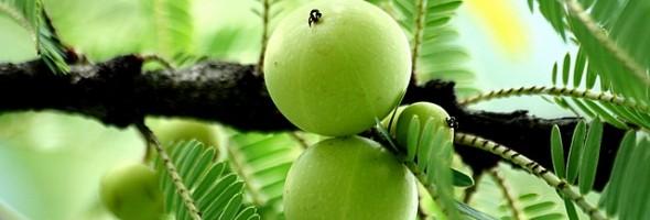 ribes-grossularia-fruit-extract